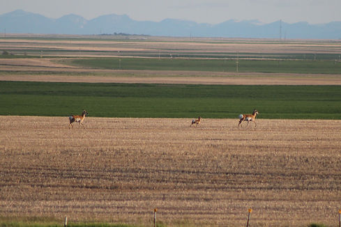 antelope in field.jpg