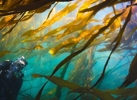 The importance of Kelp in the Salish Sea