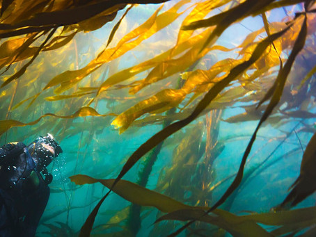 The importance of Kelp in the Salish Sea