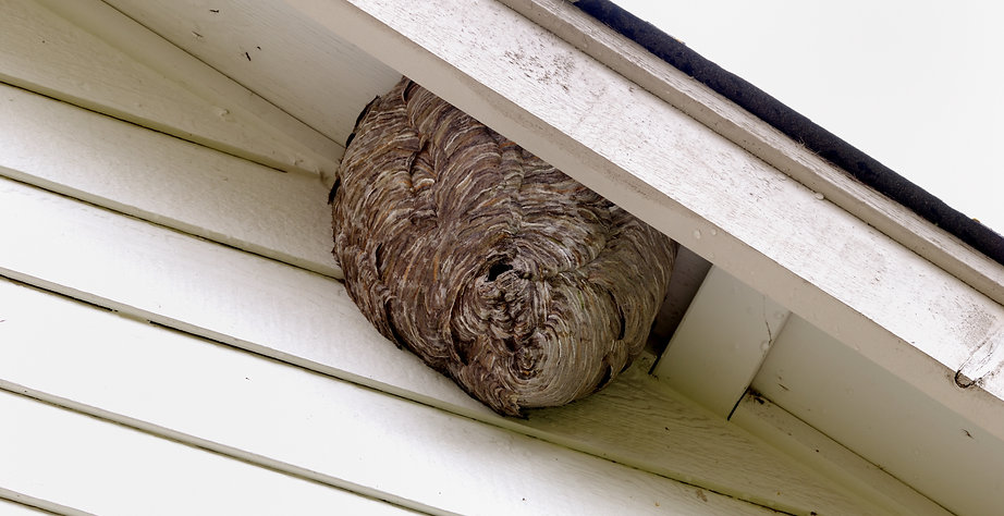 Wasp Nest in the eaves of a house
