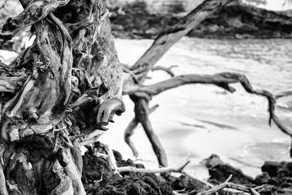 Makena Driftwood
