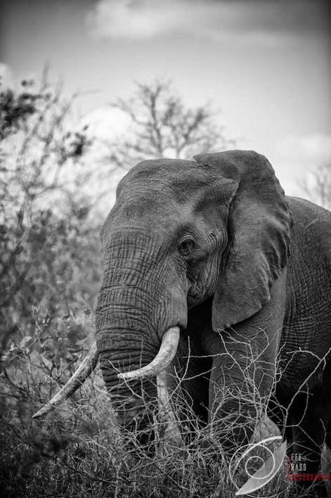 Singita Elephant.jpg