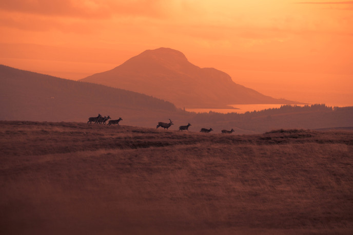 Herd of Red Deer running along the skyline with Holy Isle in the distance