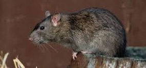 Jim Dow Pest Control Rat