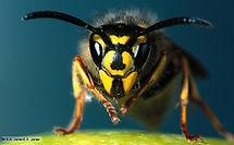 Jim Dow Pest Control Wasp