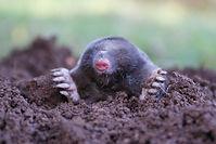Jim Dow Pest Control Mole