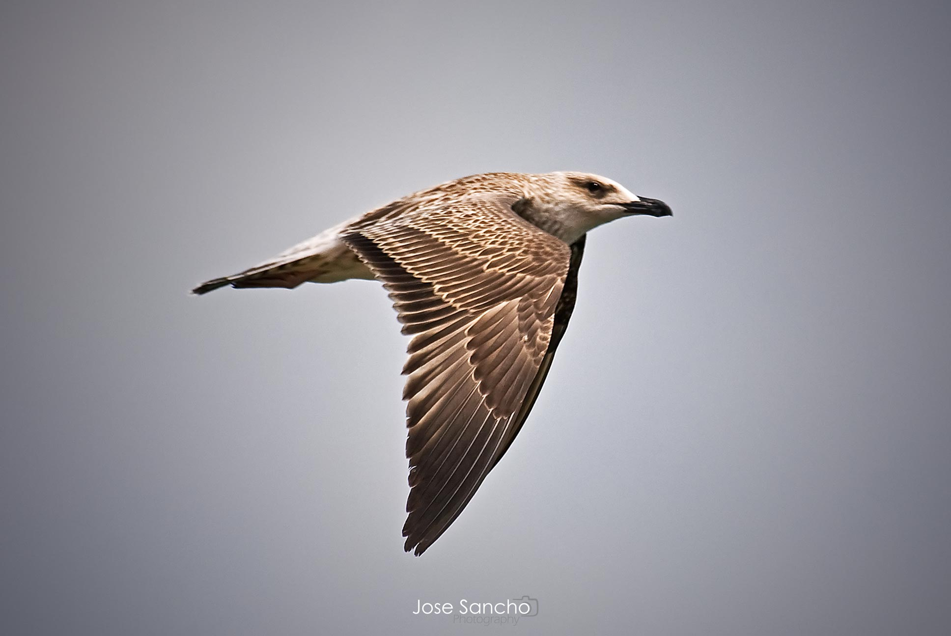 Gaviota - Jose Sancho Photography