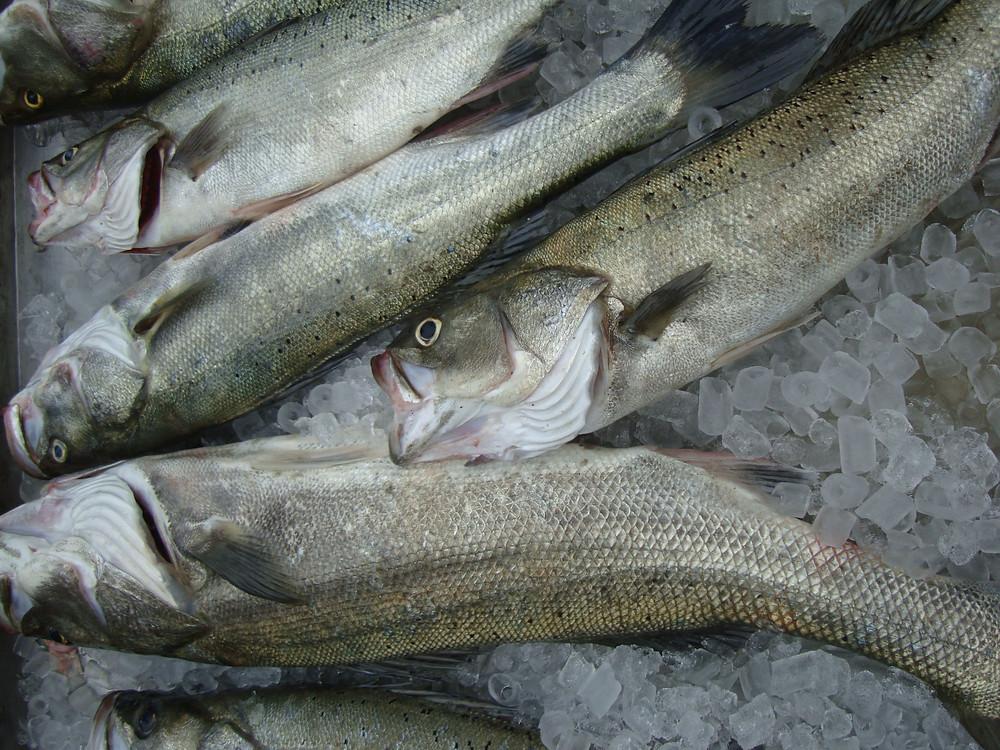 春季磯釣鱸魚