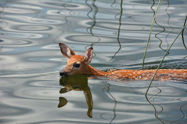 I was puzzled on which fly to toss! #flyfishing #bambi #mcgregorbay #explorecanada #deer