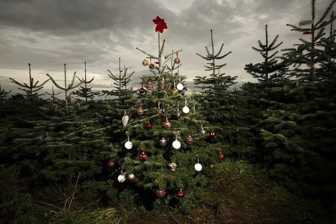 Dobbies Christmas tree farm