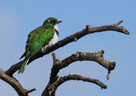PL la Grange 6 - Klaas's Cuckoo (Dwarsri