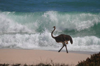 ostrich on Jakkals' beach.jpg