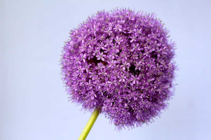 allium-purple-ball-flower.jpg