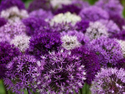 Allium collection upclose.jpg