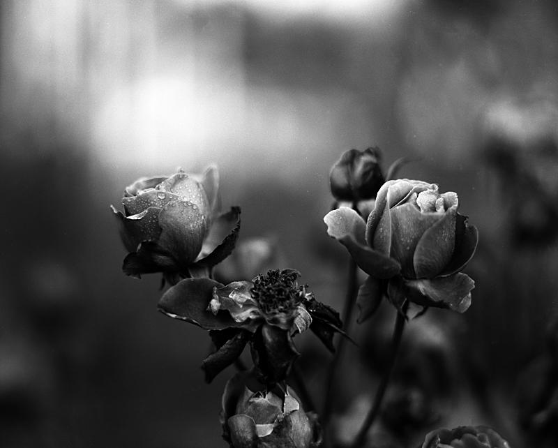 Roses 2 2011