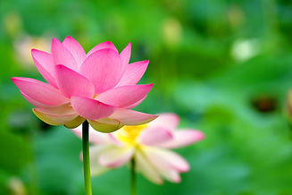 lotus-6498582_1920.jpg