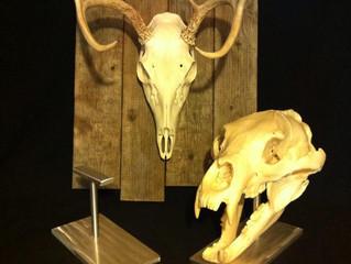 New Bear Skulls Stands