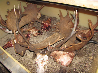 """A 52"""" bull moose is added to the mix."""
