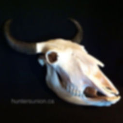 BC Bison skull, Salmon Arm BC European mount taxidermy, beetle skull cleaning, hunting BC bison 2016