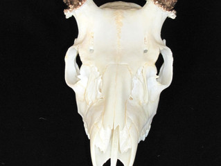 Completed work by Hunters Union Dermestid Beetle Skull Cleaning