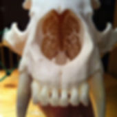 Taxidermist in Salmon Arm BC, European mount taxidermy, beelte skull cleaning, hunting BC bears nasil cavity, Canada