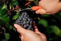 Youngblood Vineyard Preview 2020-13.jpg