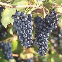 grapes_marquette.jpg