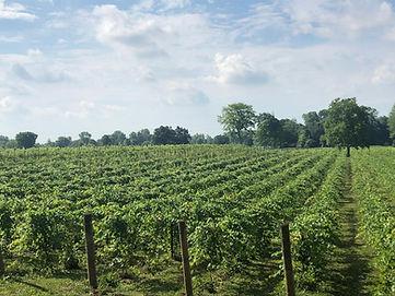 morning in the vineyard