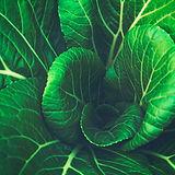 foglie di cavolo