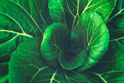 キャベツの葉