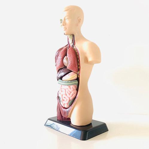 Human Anatomy Model - 27cm - 8 Pieces