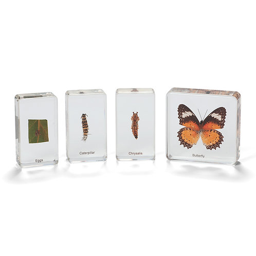 Life Cycle Specimens of a Butterfly