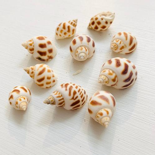Small Babylonia Shell Each