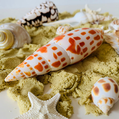 Natural Large Junonia Shell 1 Piece