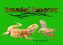 bearded dragons special