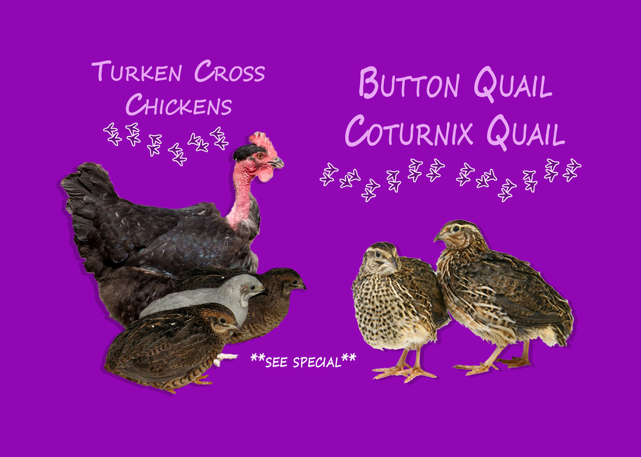 Quails, Chicken Special
