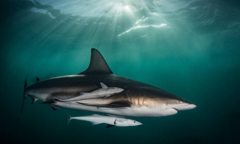 baited shark dive- aliwal shoal, south afirca