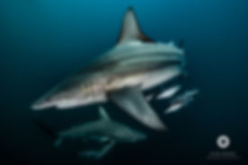 Best Shark Diving in the world, South Africa, Aliwal Shoal