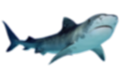 shark_PNG18831.png
