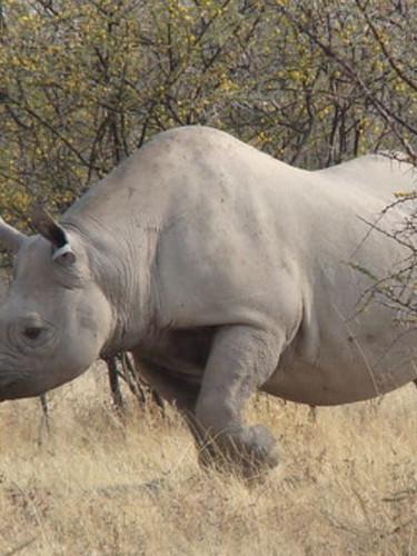 Black Rhino- Mara Wetland