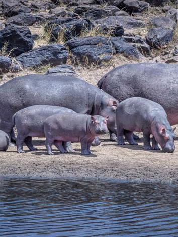 Hippotomus - Mara Wetland