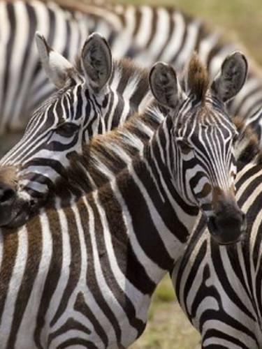 Zebras- Mara Wetland