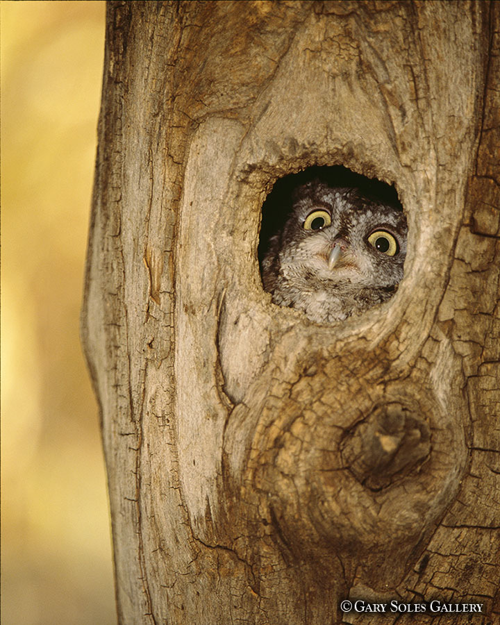 Screech Owl Tree