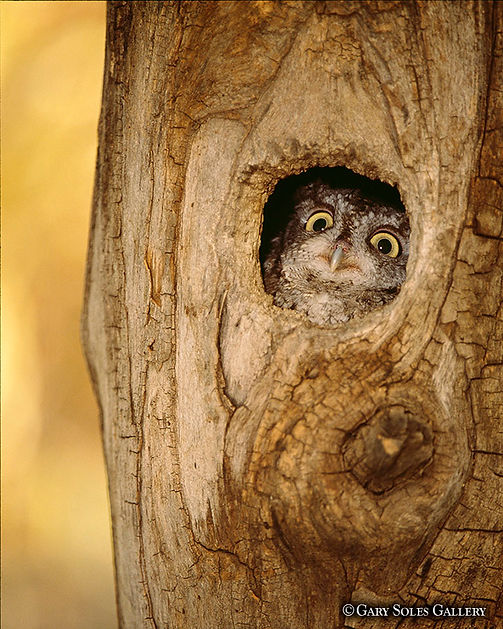 Screach Owel tree 45 web.jpg