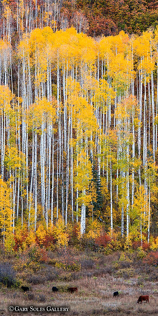 Vertical Aspen with Cows
