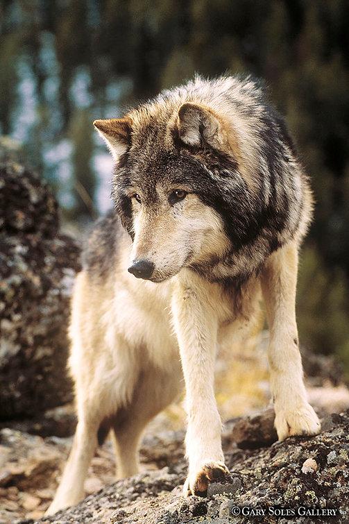 Wolf-2sne web.jpg