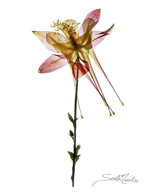 pink columbine, columbine, seola nicole, flattened gallery, pressed flower, wildflower, gary soles gallery, breckenridge, colorado, seola