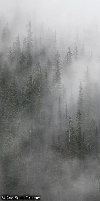 misty pines, mist, colorado summer, silverton, pine trees, clouds, gary soles, gary soles gallery, breckenridge, colorado