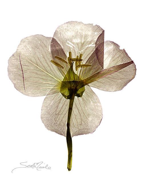 colorado wildflower, lily, pressed flower, floral art, seola nicole, seola edwards, flattened gallery, gary soles gallery, flower art, radiograph