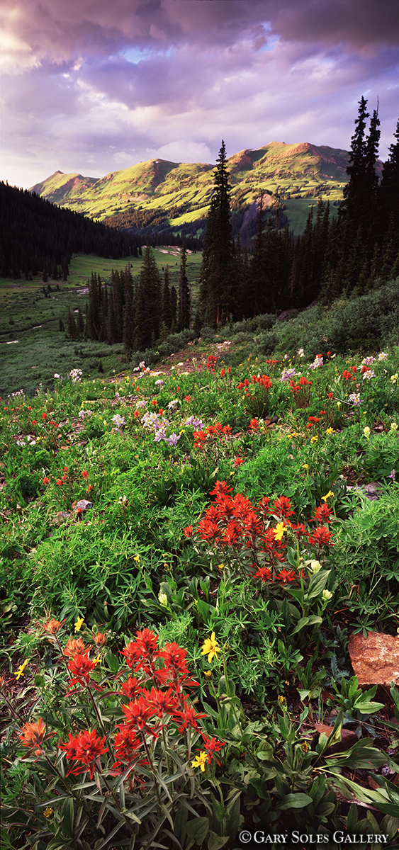 Green Mountain Paintbrush Vertical